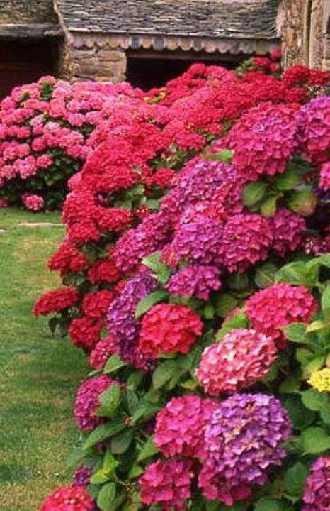 Hydrangeas - would LOVE to have some this color!
