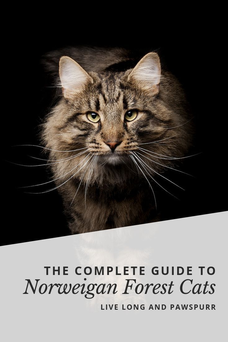 The Complete Guide To Norwegian Forest Cats Live Long And Pawspurr In 2020 Norwegian Forest Cat Forest Cat Cute Cats And Dogs