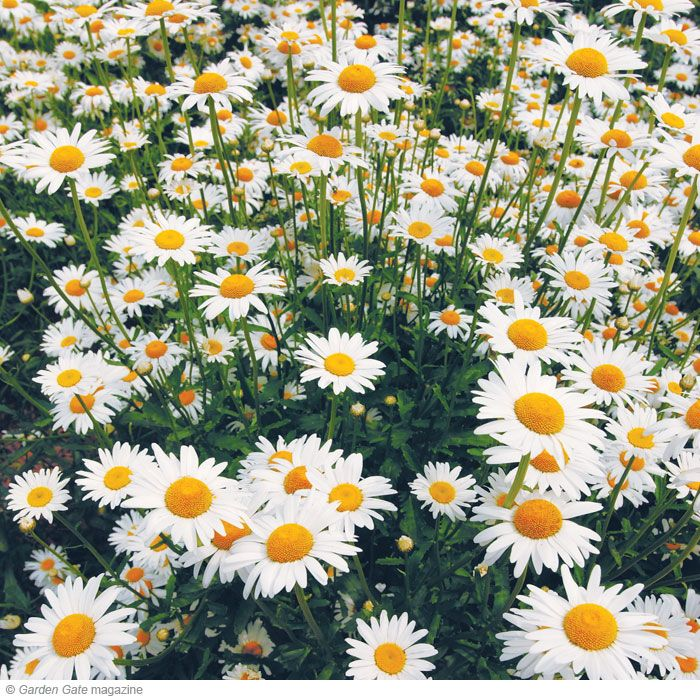 Instant impact plants | Shasta Daisies - Perennial