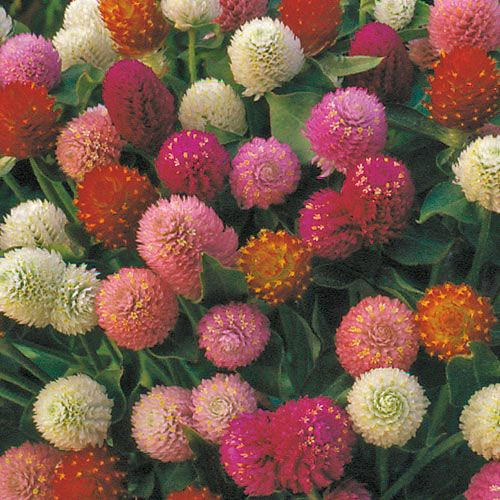 Flower, Globe Amaranth