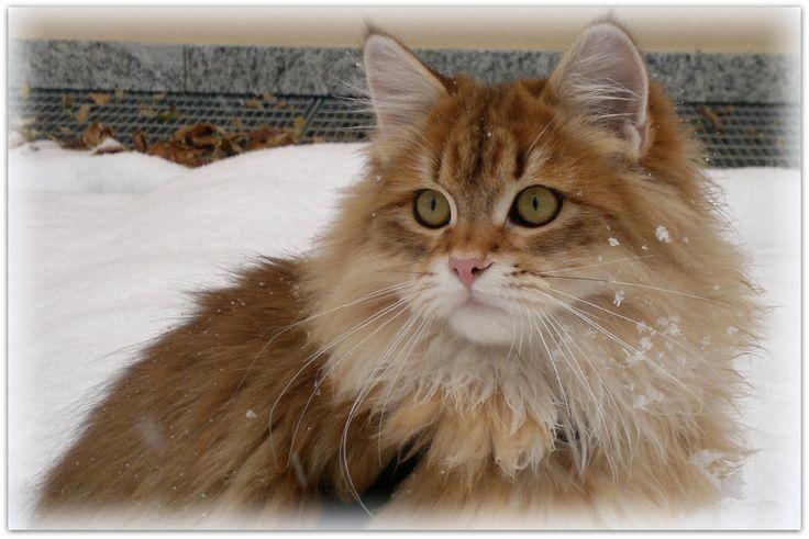 Gatto siberiano...il gatto venuto dal freddo