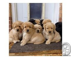 Are You The One Who Is Looking To Buy Labrador Dog Puppy In Mumbai