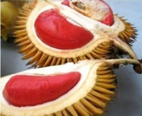 Rare red durian -- a fruit that most foreigners find disgusting, but locals call the king of fruits