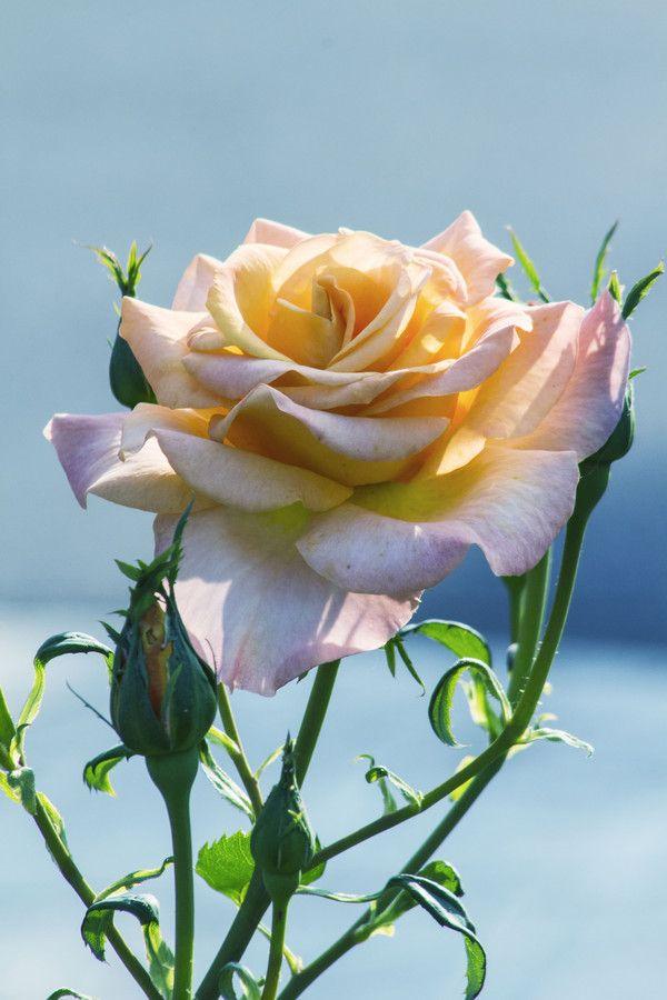 My Rose on 500px