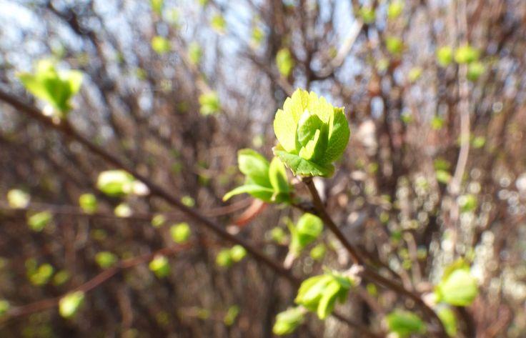 """Földmunkák, amik a kertbe csalogatják a rigókat és verebeket... metszés és lemosó permetezés, kéregkaparás, a tövek megtisztítása - ilyen, és ezekhez hasonló munkákkal indul a tavasz mindazoknak, akik tudják, mit jelent """"együtt gondolkodni a természettel""""..."""