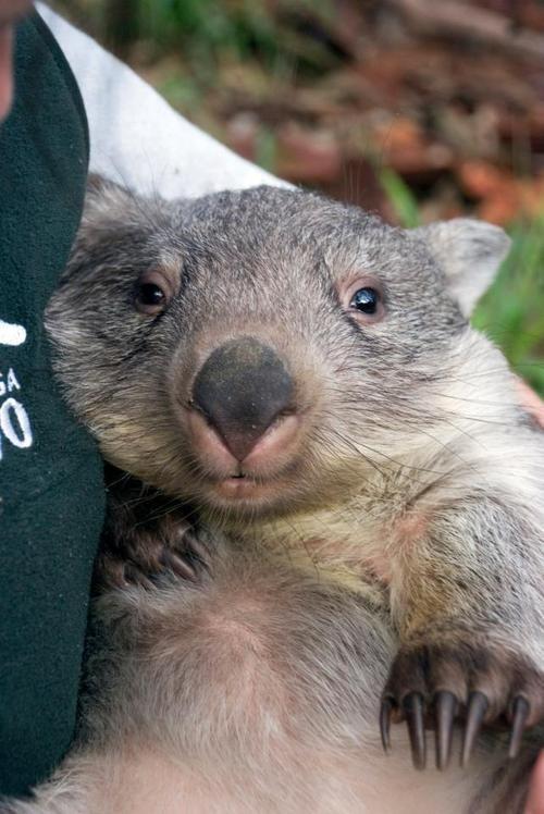 Wombat.  Taronga ZooPhoto: Lorinda Taylor