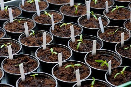 Близится весна, а вместе с нею и такие необходимые для огородника процедуры, как  рассады. Для чего необходимо пикировать молодую рассаду? Чтобы корневая система будущего овоща или цветка ста…