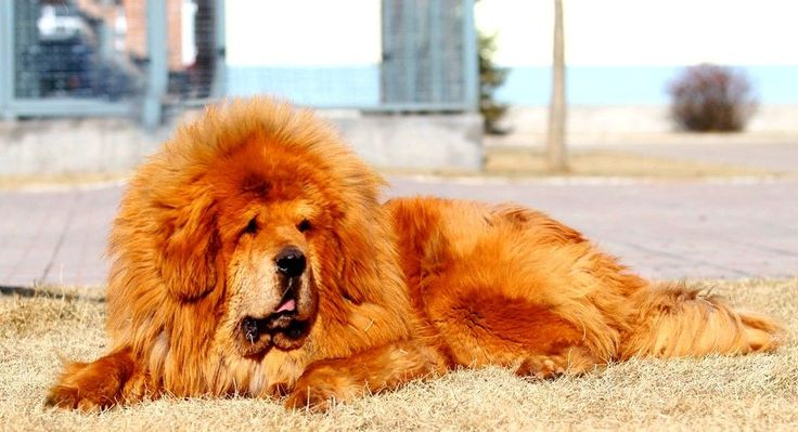 Тибетский мастиф (фото): мудрость из глубины веков и необыкновенная преданность Смотри больше http://kot-pes.com/tibetskij-mastif-foto/