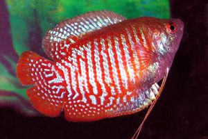 17 Best Images About Gourami On Pinterest Opaline Fresh