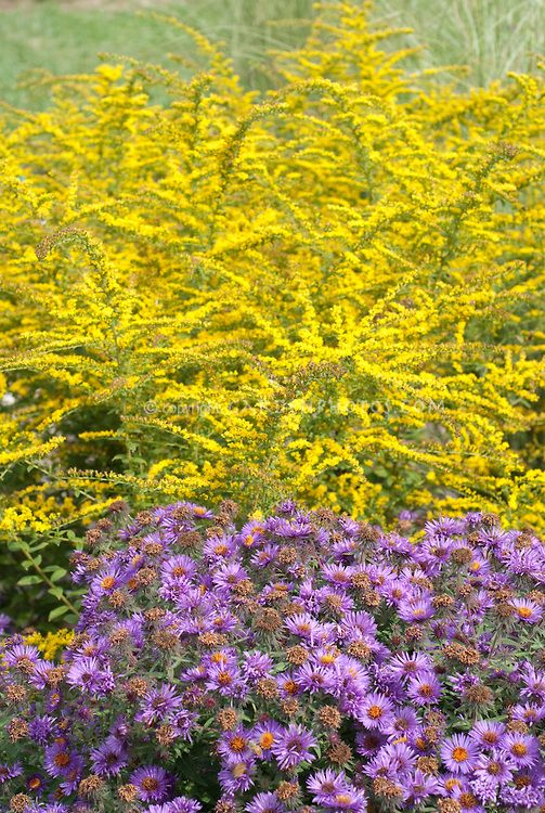Autumn Planting Combination Of Aster Purple Dome And