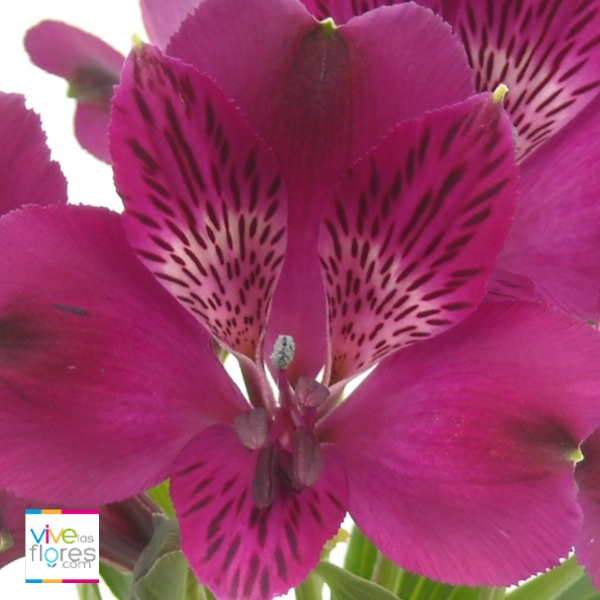 Atrévete a disfrutar los colores de las alstroemerias de vivelasflores.com  El purpura de nuestras alstroemerias es al mismo tiempo, profundo e intenso.