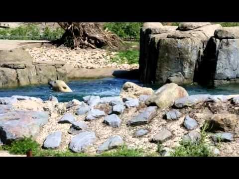 Polarbears twin Rotterdam Zoo