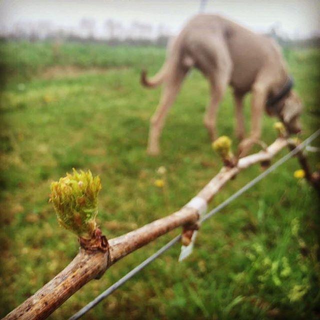 Vasco a weimari vizsla ellenőrizte az első leveleket. :) Vasco is checking the first leafs in our vineyard. #pincekulcsabalatonhoz #cellarkeytolakebalaton #kristinusborbirtok #kristinuswineestate #borbirtok #birtok #szőlő #wine #winery #balaton #lakebalaton #kethely #weimarivizsla #vizsla #vasco