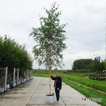 Betula pendula | Native Silver Birch Trees For Sale
