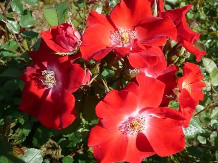 OUR MOLLY (Dicreason) 1993           £8.50  Named to honour Past President of the Rose Society of Northern Ireland, the late Molly Frizzell. A tremendous rose with bright crimson single blooms with a silver eye and orange hips in the autumn.  It always sells out early! Measures approx. 90 cm  x  90 cm.