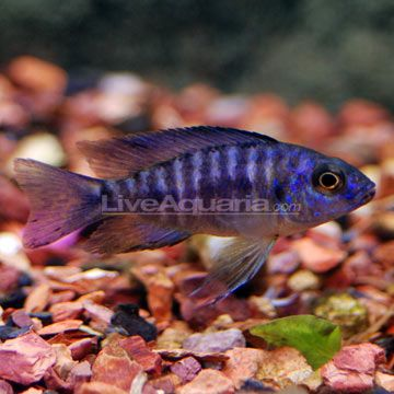 17 best images about tropical freshwater fish on pinterest for African cichlid fish