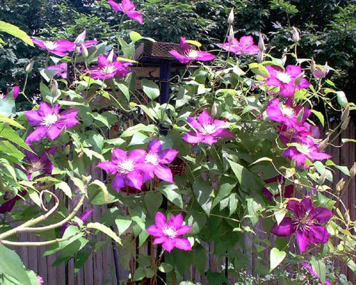 Pictures Of Vines Examples Of Climbing Plants Garden