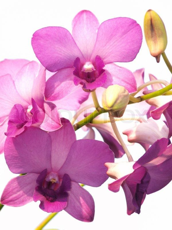Pink Purple Dendrobium Orchid Flower On White Background Stock Photo Colourbox On Colourbox Dendrobium Orchids Orchid Flower Orchids