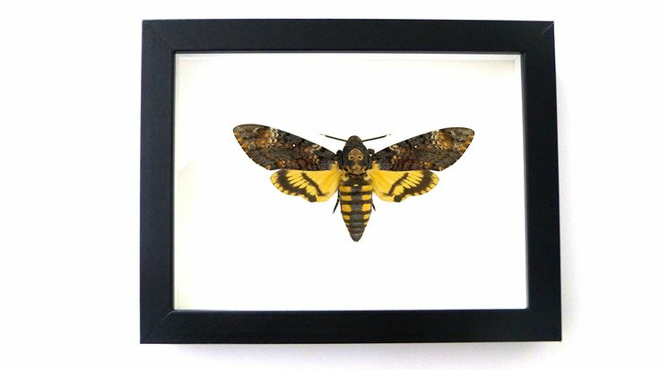 REAL Death Head Moth in 5x7 Frame -  $100 Acherontia Atropos Silence of the Lambs Taxidermy Mounted in Black Frame