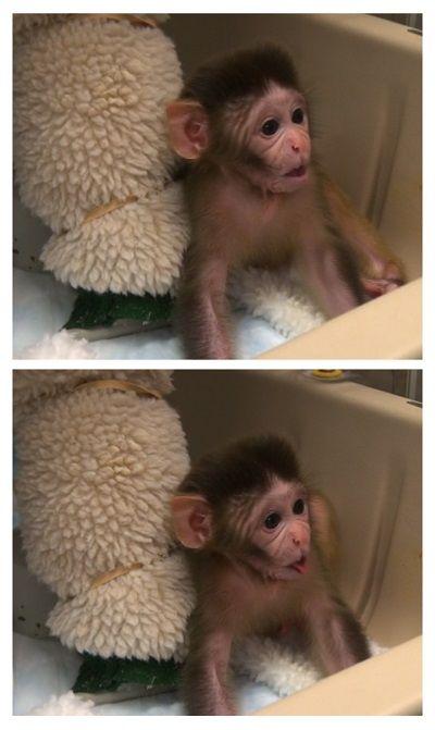 Oxytocin promotes social behavior in infant rhesus monkeys - http://scienceblog.com/72031/oxytocin-promotes-social-behavior-in-infant-rhesus-monkeys/