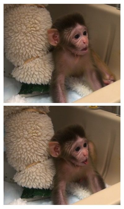 The hormone oxytocin appears to increase social behaviors in newborn rhesus monkeys, according to a study by researchers at the National Institutes of Health, the University of Parma in Italy, and the University of Massachusetts, Amherst. The findings indicate that #oxytocin is a promising candidate for new treatments for developmental disorders affecting social skills and bonding.