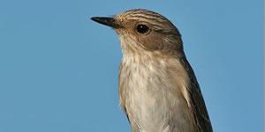 Spotted flycatcher on perch