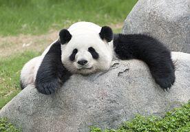 """30-Jul-2015 12:09 - """"PANDA VERDACHT VAN FAKEN ZWANGERSCHAP"""". Een panda uit de dierentuin van Taipei (Taiwan) zou zich zwanger voordoen om een beter verblijf te krijgen. En het zou niet de eerste keer zijn…..."""