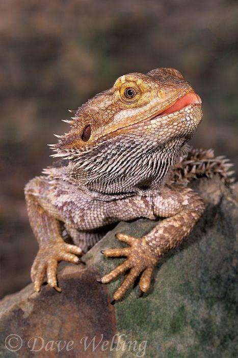 Bearded dragon lizard (pogona vitticeps)