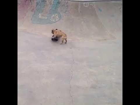#FranseBulldog met goeie skills! De #TonyHawk onder de #honden