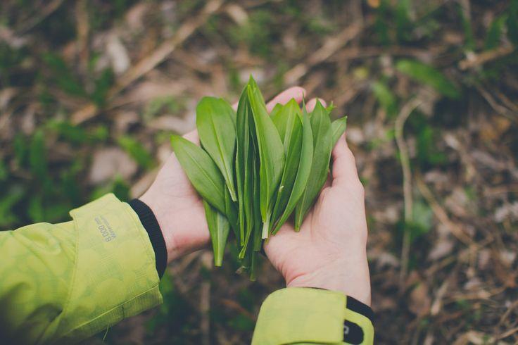 Môžem zbierať medvedí cesnak v lese? Ak áno, tak všade alebo iba na vyhradených miestach? Prečítajte si viac informácií o zbere tejto úžasnej bylinky. #wildgarlic #woodgarlic #baersgarlic #nature #plants #herbs #woods #forest #green #medvedicesnak #divokycesnak
