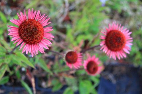 Echinacea-purpurea--Vintage-Wine---Le-Barp--33--Chez-Chaten.JPG