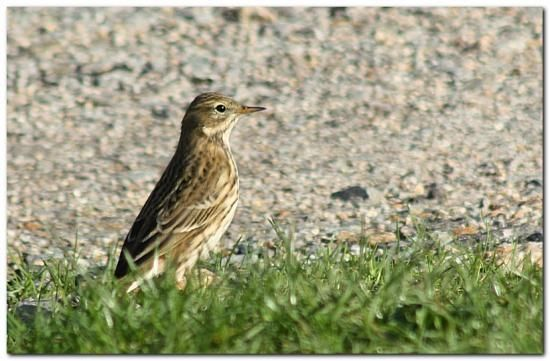Pipit Farlouse - naturepassion