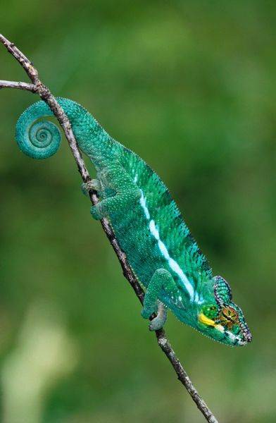 'Panther Chameleon (Furcifer pardalis), Nosy Be.' by Lonely Planet Images on artflakes.com