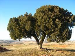 Enebro -Juniperus El género Juniperus de amplia distribución, comprende las especies llamadas comúnmente enebros o sabinas. Los juniperos son coníferas arbóreas o arbustivas, pertenecientes a la familia de las Cupresáceas.
