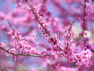 Purple Spring Blossom. Cercis Canadensis or Eastern Redbud ©Guzel Studio