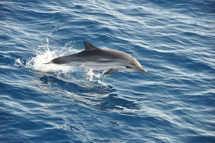 """Dauphins bleus et blancs, les plus répandus en Méditerranée en train de sauter devant le bateau """"Cala Rossa"""""""