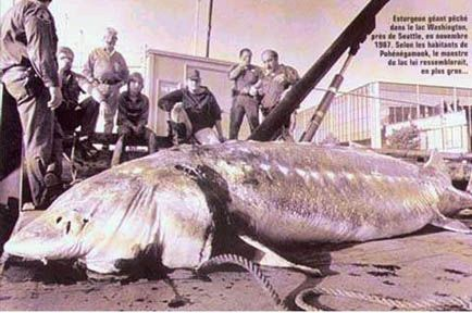 World Record Sturgeon   The biggest Sturgeon on record was ...
