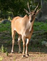 Elands Living Large at Detroit Zoo - Royal Oak, MI Patch