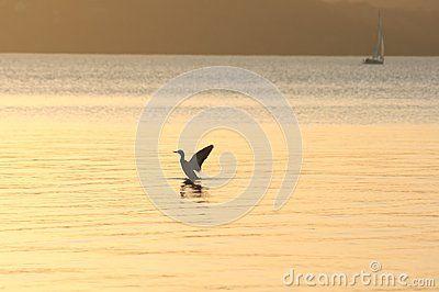 A duck in sundown at Lake Balaton, Hungary