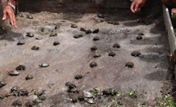 Comunidades ribeirinhas promovem a soltura de 684 quelônios em Juruti e Terra Santa