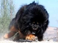 Image result for snarling tibetan mastiffs