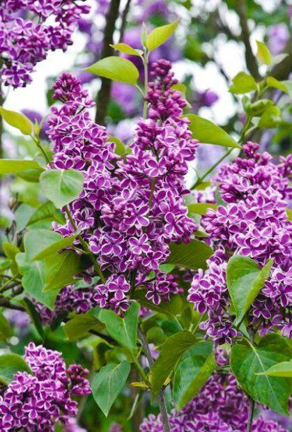 Lilak pospolity 'Sensation' ceniony ze względu na oryginalne kwiaty. Dorasta do 3-4 m. Wymaga troskliwej pielęgnacji, kwiaty różowo-fioletowe