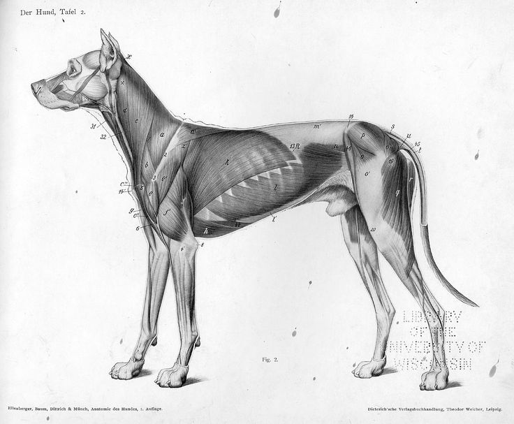 Dog muscle side - Animal Anatomy Artist Reference.