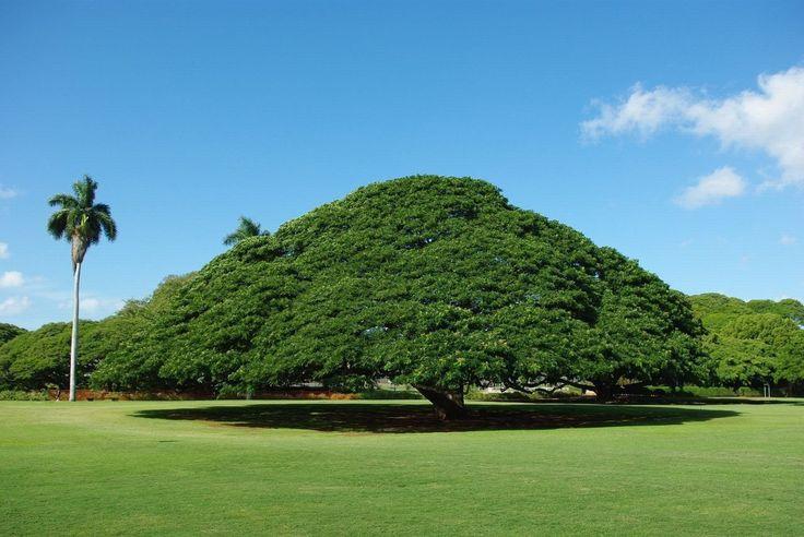 Добро пожаловать на Землю!: Дерево Хитачи, в садах Моаналуа на острове Оаху, Гавайи. В парке много разновидностей дерева этой ...