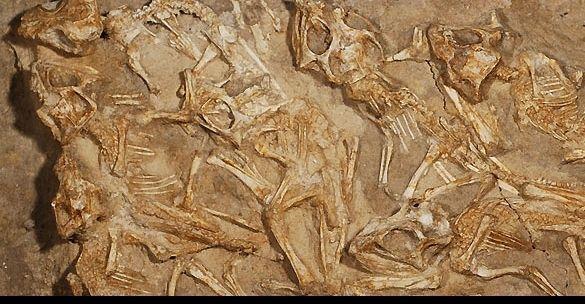 Un equipo de investigadores identificó la que sería la primera paleopatología en un dinosaurio que vivió en el periodo Mesozoico y cuyos restos óseos fueron hallados en la costa este de América del Norte