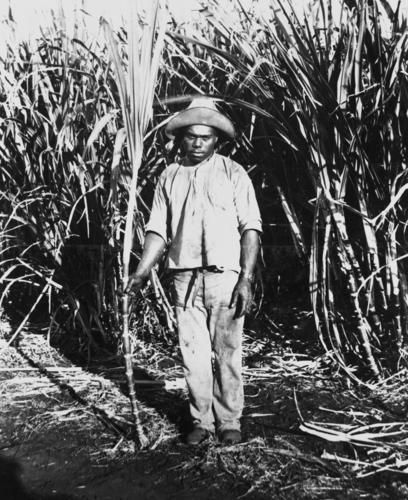 South Sea Islander labourer in the sugar cane fields at Bingera