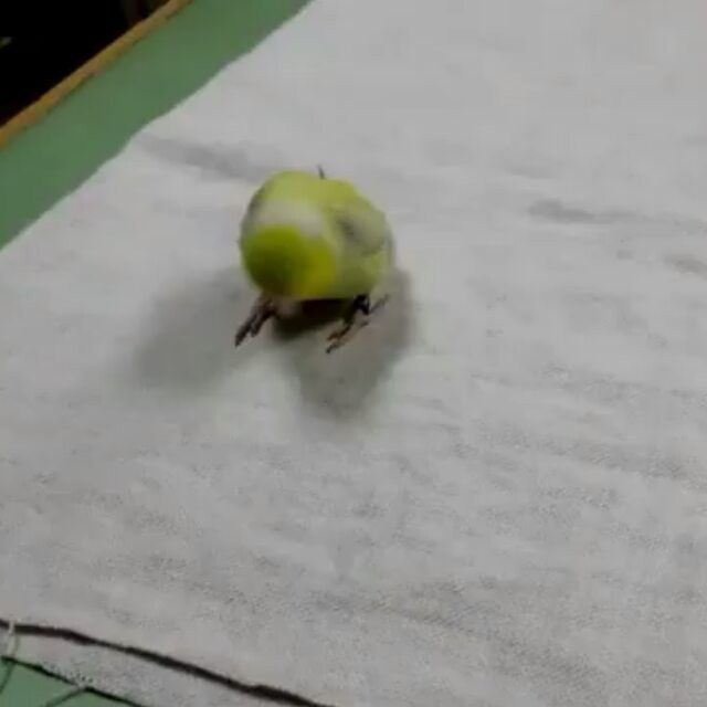 Double tap if you think parrots are awesome! 😄🏂👌💚 🐥 📷 Video by 👉 Lordstone Tran @ Youtube ---------------------------------------------------------------------- #forpus #playing #parrotlet #pacificparrotlet #playfulbird #showtime #playtime #skateboard #basketball #parakeet #parrots #papağan #wellensittich #grasparkiet #perico #periquito #perruche #sittich #parrotslovers #budgiesofinstagram  #petsofinstagram #cuteanimals #instaparrot #instabird #birdsofinstagram #birds #papaganturkiye…