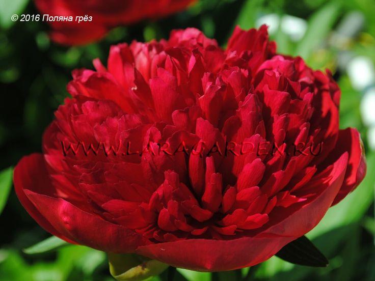 Купить пионы Diana Parks (Bockstoce, 1942), тип: Г1, срок: M, форма цветка: М, высота: 90, диаметр: 15