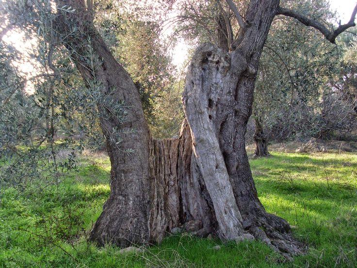 """Βιολογικό Ελαιόλαδο - Κτήμα Οικ. Κατσάνη: Ελιά  """"Δέντρο γεμάτο πατρογονικά παραμύθια....."""""""