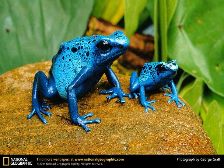 Google Image Result for http://naturescrusaders.files.wordpress.com/2009/12/blue-poison-dart-frog-two.jpg